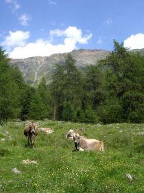 Glückliche Kühe auf der Plawenner Alm